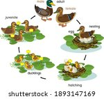 life cycle of bird. stages of... | Shutterstock .eps vector #1893147169