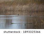 Three American Coot Ducks ...