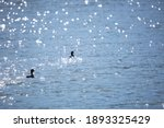 Pair Of American Coot Ducks ...