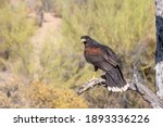 Small photo of Harris's Hawk perched near Palo Verde Trees