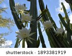 Picture Of A San Pedro Cactus...