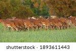 Fallow Deer  Dama Dama  Herd...