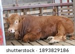 Red Limousine Bull With A Ring...