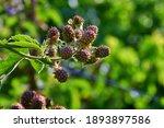 Green Blackberry Berries...