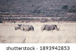 The Two Rhinos Walking On A...