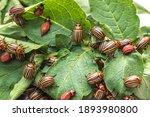 Many Colorado Potato Beetle...