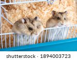 Two Cute Dzungarian Hamsters...