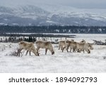 A Heard Of Caribou In Gros...