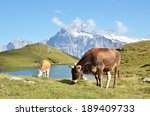 cows in alpine meadow. jungfrau ... | Shutterstock . vector #189409733