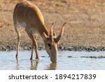 Wild Male Saiga Antelope Or...