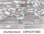 A Group Of Small Sanderling...