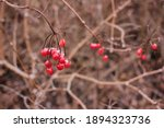 Close Up Of Red Viburnum...