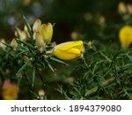 Yellow Flowers Of Common Gorse...