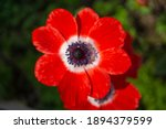The Bright Red Anemone Flowers...