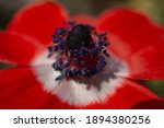 Up Of Bright Red Anemone Flowers