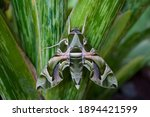 oleander hawk moth or gardenia ...