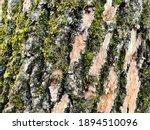 Tree Bark Texture. Trunk Of...