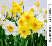 White And Yellow Daffodils In A ...