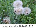 Tragopogon Dubius Grows In The...