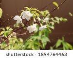 White Flowers  Wild Water Plum  ...