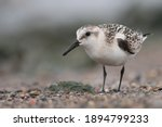 Sanderling Standing On A Pebble ...