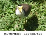 The Masked Lapwing  Vanellus...