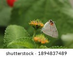 Gray Hairstreak Butterfly  ...