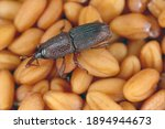 Wheat weevil sitophilus...