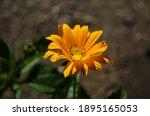 Heliopsis Helianthoides ...