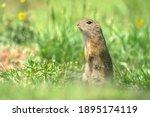 A European Ground Squirrel ...