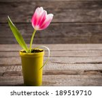 Pink Tulip In Yellow Pot On...