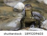 Monitoring Lizard In The River...
