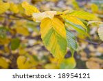 Small photo of Close-up alder (Alnus viridis) leaves autumn