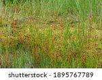 Alpine Plants In Oze ...