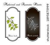 silver birch  betula pendula  ...   Shutterstock .eps vector #1895875999