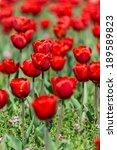 red tulips field in springtime | Shutterstock . vector #189589823