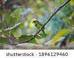 Fire Tufted Barbet On The Tree  ...
