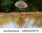 A white browed fantail...