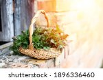 Fresh Nettles. Basket With...