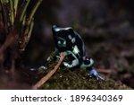 Dendrobates Auratus Green Dart...