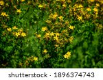 Many Delicate Yellow Flowers Of ...