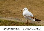 Black Headed Gull Standing On...
