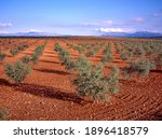 Mediterranean Olive Plantation...