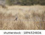 White Crowned Sparrow On Barbed ...