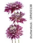 Stock photo studio shot of burgundy colored dahlia flowers isolated on white background large depth of field 189653138