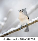 This Tufted Titmouse Has Bent...