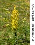 Mullein Flowering  Verbascum ...