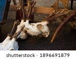 Roe Deer Skulls With Antlers On ...