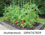 Tomato Plants With Ripe Red...