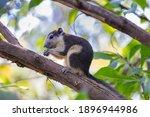 Eastern Gray Squirrel Feeding...